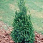 #10 Ilex cre Steeds/Japanese Holly Pyramidal (female)