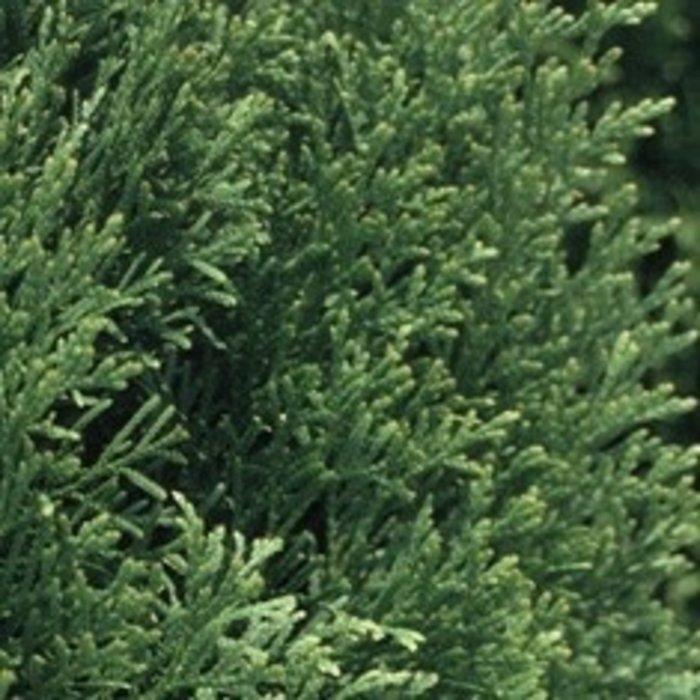 #1 Thuja occ Smaragd/Emerald Green Arborvitae Columnar