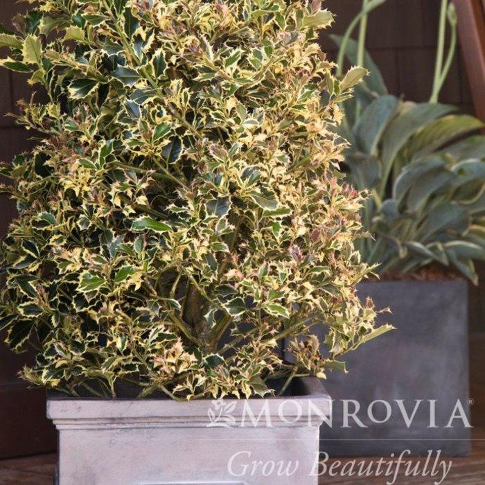 #15 Ilex aquifolium Argenteo Marginata/Variegated English Holly