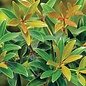 #7 Cleyera Bronze Beauty/Ternstroemia