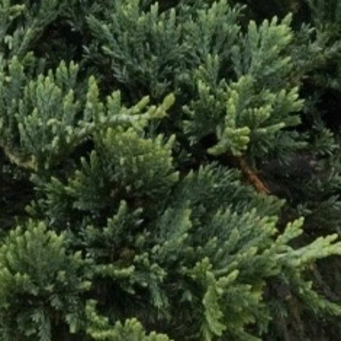 #3 Juniperus horiz Wiltoni/Blue Rug Creeping Juniper