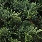 #3 Juniperus horiz Wiltoni/Blue Rug Creeping Juniper