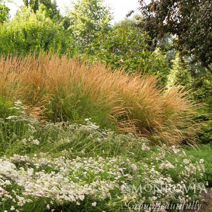 3 grass calamagrostis x acut karl foerster feather reed bates nursery garden center. Black Bedroom Furniture Sets. Home Design Ideas