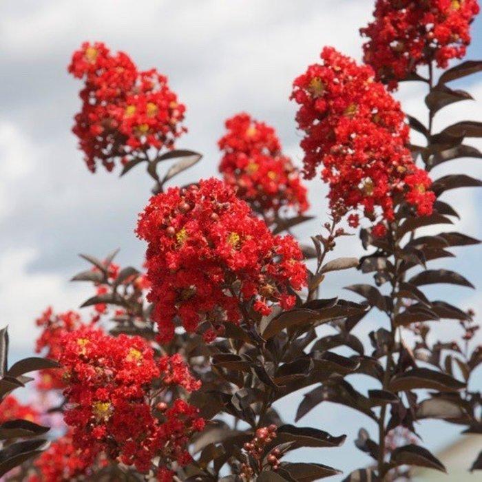 #2 Lagerstroemia Delta Flame/Crape Myrtle Semi-dwarf Dark-red