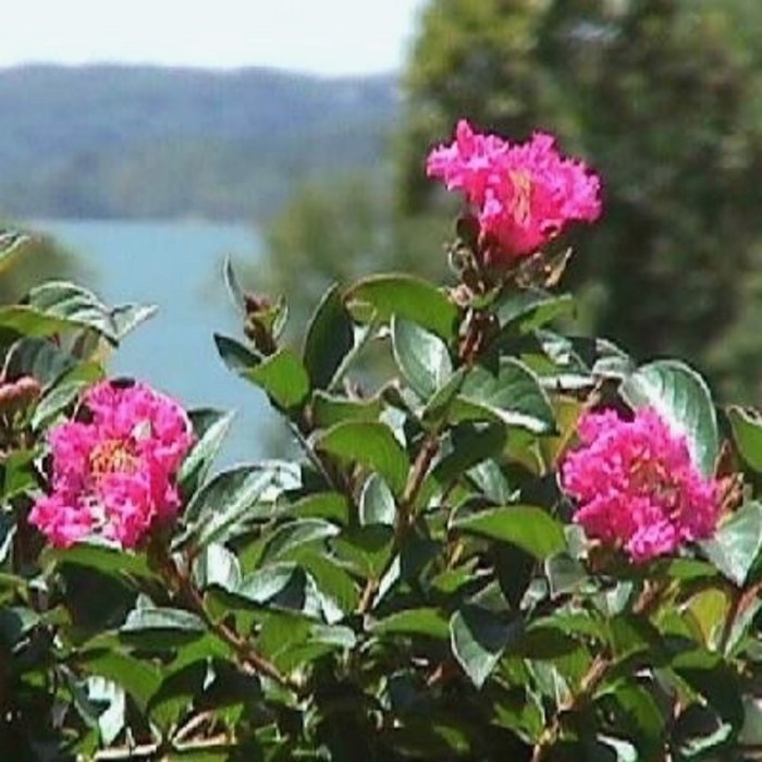 #2 Lagerstroemia x Pocomoke/Crape Myrtle Dwarf Deep Rose-pink