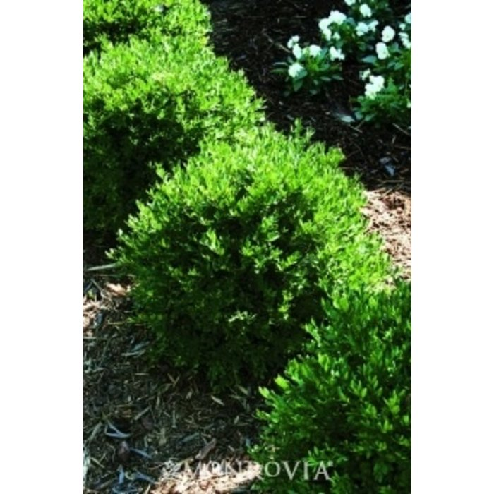 #1 Buxus x Glencoe/Chicagoland Green Boxwood
