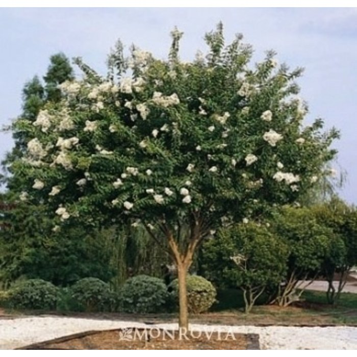 #30 Lagerstroemia x Natchez/Crape Myrtle White