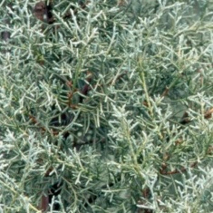 #7 Cupressus arizonica var. glabra Carolina Sapphire/Blue Arizona Cypress