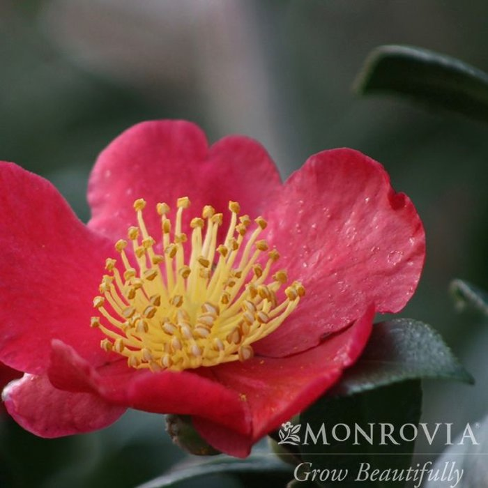#1 Camellia s Yuletide/Red No Warranty