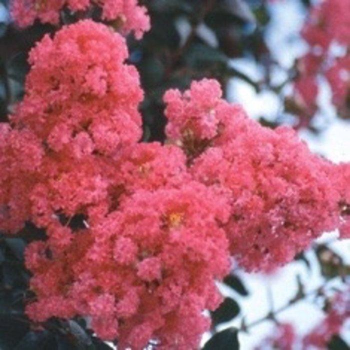 #15 Lagerstroemia x Tuscarora/Crape Myrtle Dark Coral-pink