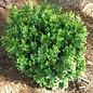 #1 Buxus micro var japonica Baby Gem/Dwarf Boxwood
