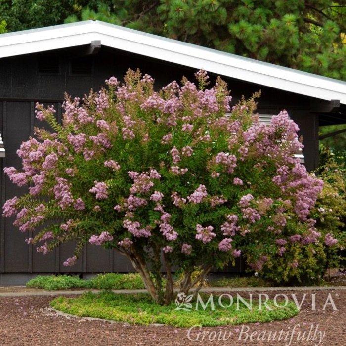 #15 SINGLE Lagerstroemia x Muskogee/Crape Myrtle Light-lavender