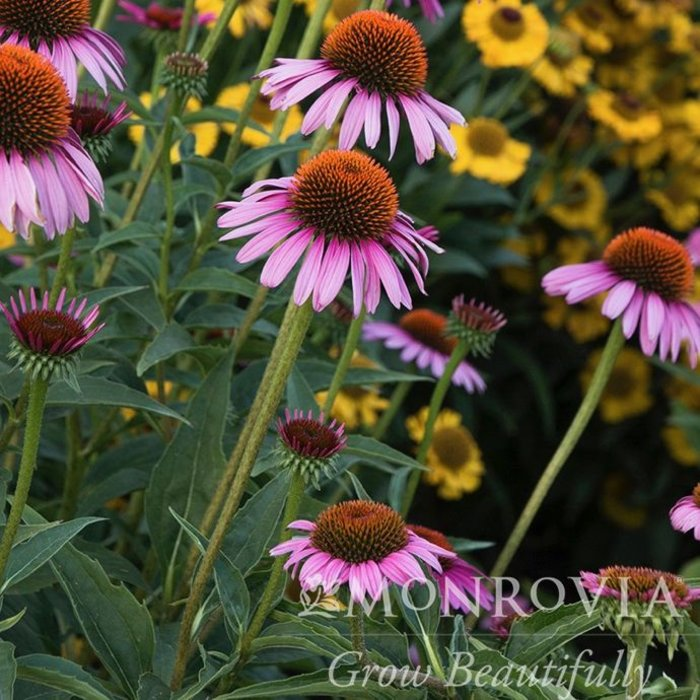#1 Echinacea Ruby Star/Coneflower