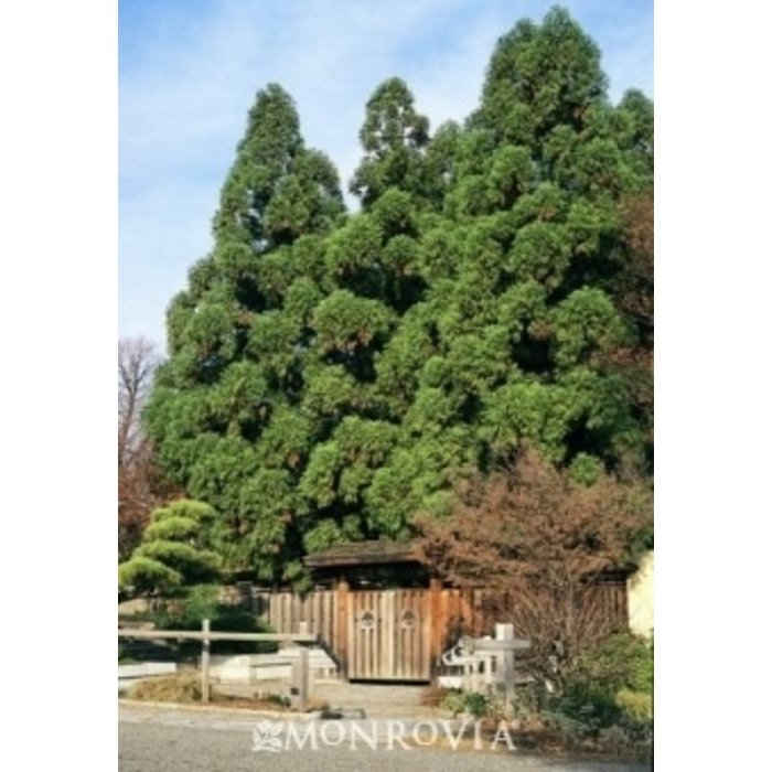 #15 Cryptomeria j. 'Yoshino'/Japanese False Cedar