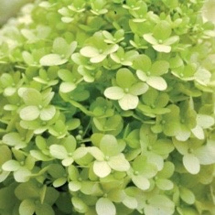#2s Hydrangea pan Limelight/Panicle White
