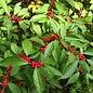 #5 Ilex vert. 'Winter Red'/Winterberry Deciduous Holly Female