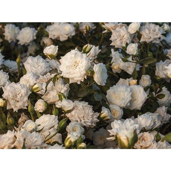 #2s Rosa/White Drift Rose Shrub NO WARRANTY