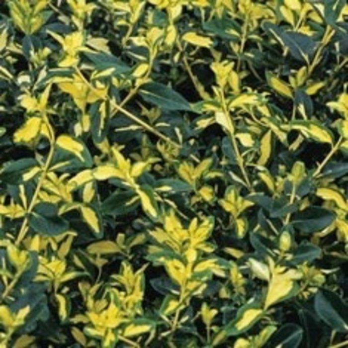 #3 Euonymus japonicus 'Aureo Marginatus'/Golden