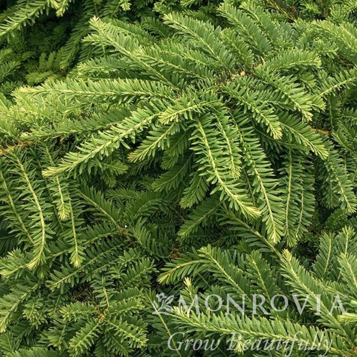 #3 Cephalotaxus harringtonia 'Prostrata'/Spreading Japanese Plum Yew