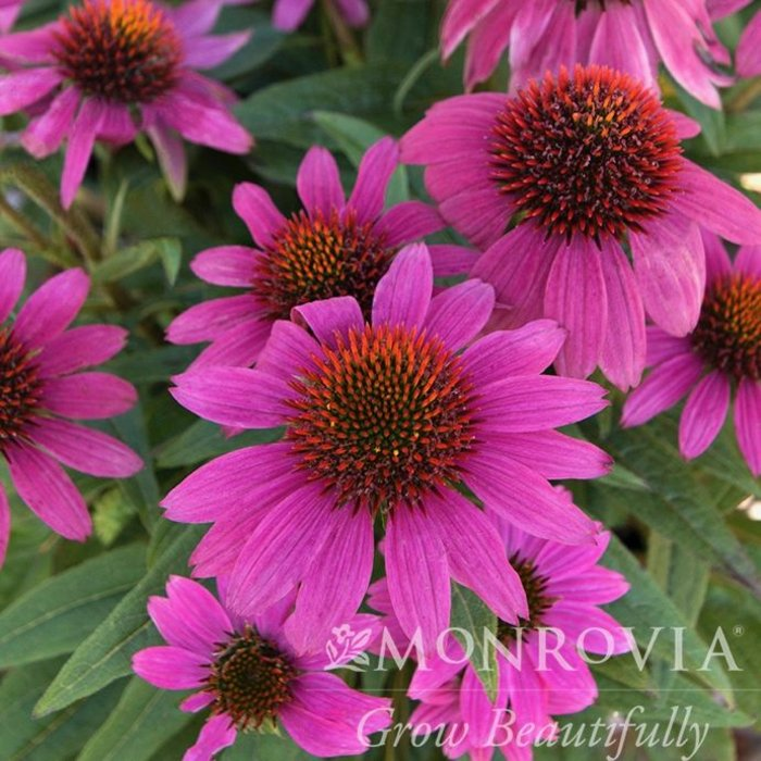 #1 Echinacea Powwow Wildberry/Coneflower