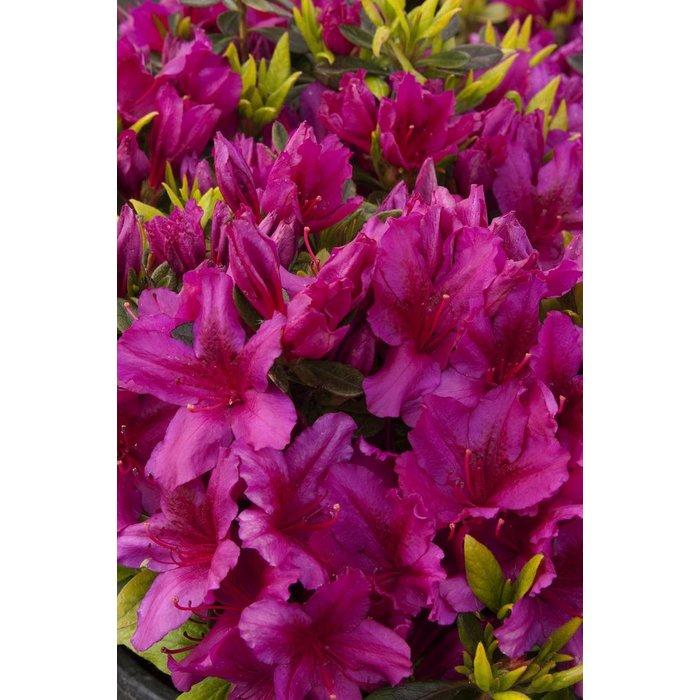 #1 Azalea gr Fuchsia