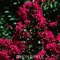 #3 Lagerstroemia Cherry Dazzle/Crape Myrtle Dwarf Cherry-red