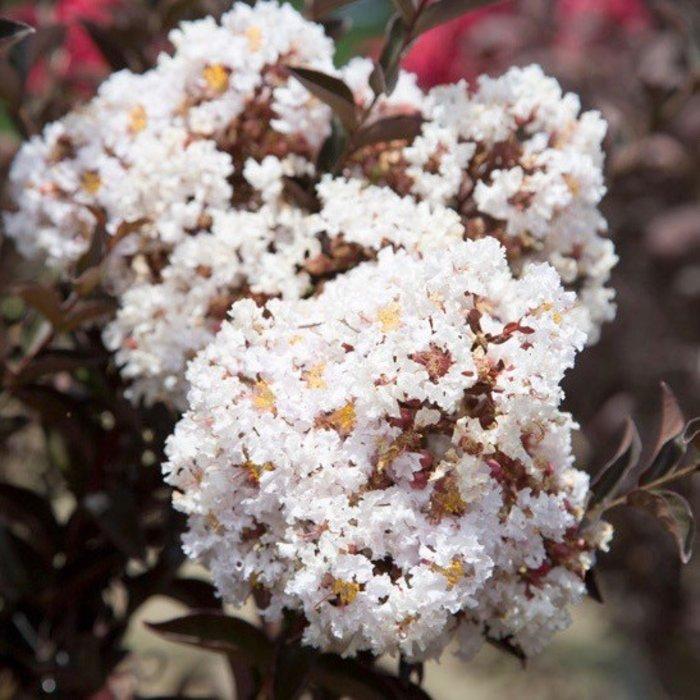 #3 Lagerstroemia Delta Moonlight/Crape Myrtle Semi-dwarf White