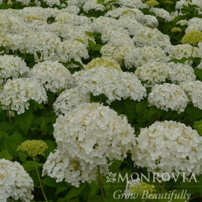 #6 Hydrangea arborescens Annabelle/Smooth White