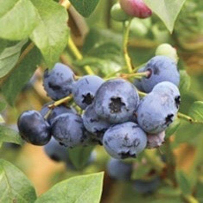 Edible #1 Vaccinium ashei Woodard/Rabbiteye Blueberry