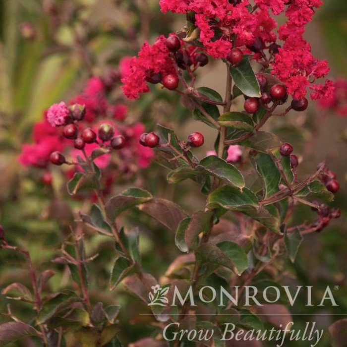#30 Lagerstroemia Whit I/Dynamite Crape Myrtle True-red