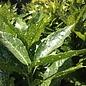 #3 Aucuba japonica Variegata/Gold Dust Variegated Female