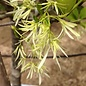 #15 Chionanthus virginicus/American Fringetree Clump