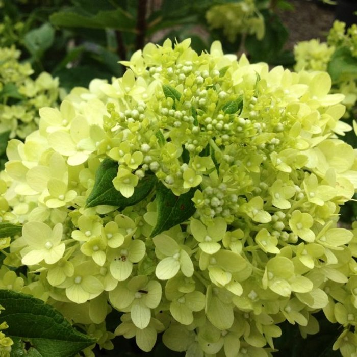 #2s Hydrangea pan Little Lime/Panicle White