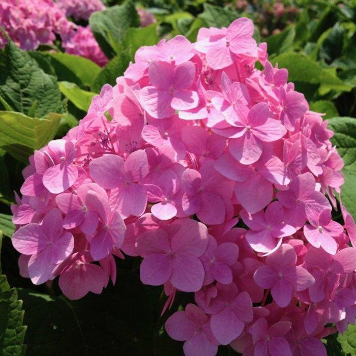 #2 Hydrangea mac Penny Mac/Bigleaf/Mophead Rebloom Blue to Pink