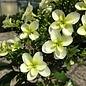 #5 Hydrangea quer Snowflake/Oakleaf