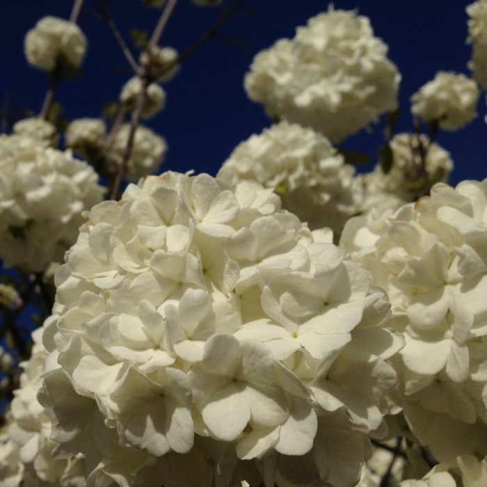 #5 Viburnum op Sterile/Old Fashioned Snowball