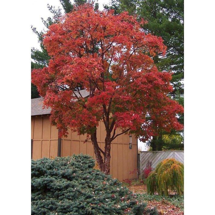 #7 Acer griseum/Paperbark Maple