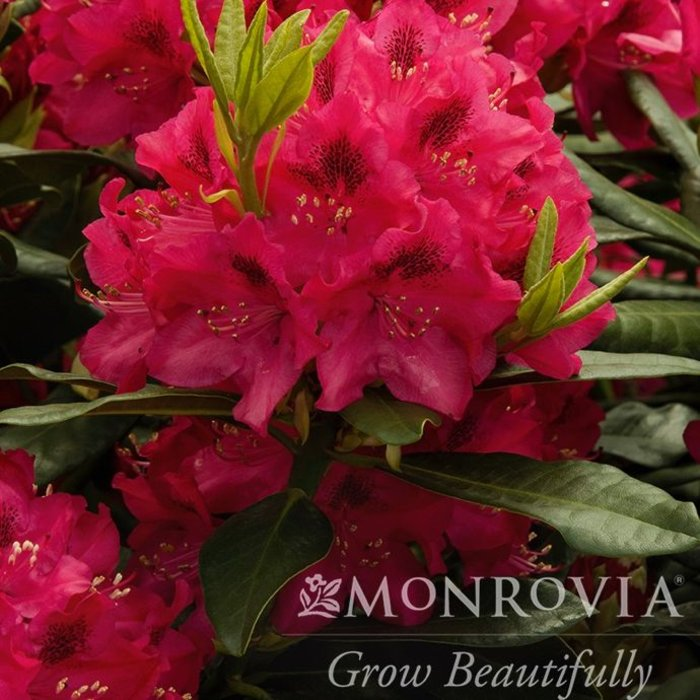 #3 Rhododendron 'Melrose Flash' NO WARRANTY