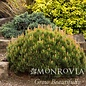 #1 Pinus mugo 'Pumilio'/Dwarf Mugo Pine
