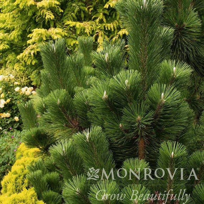 #3 Pinus thunbergii 'Thunderhead'/Japanese Black Pine