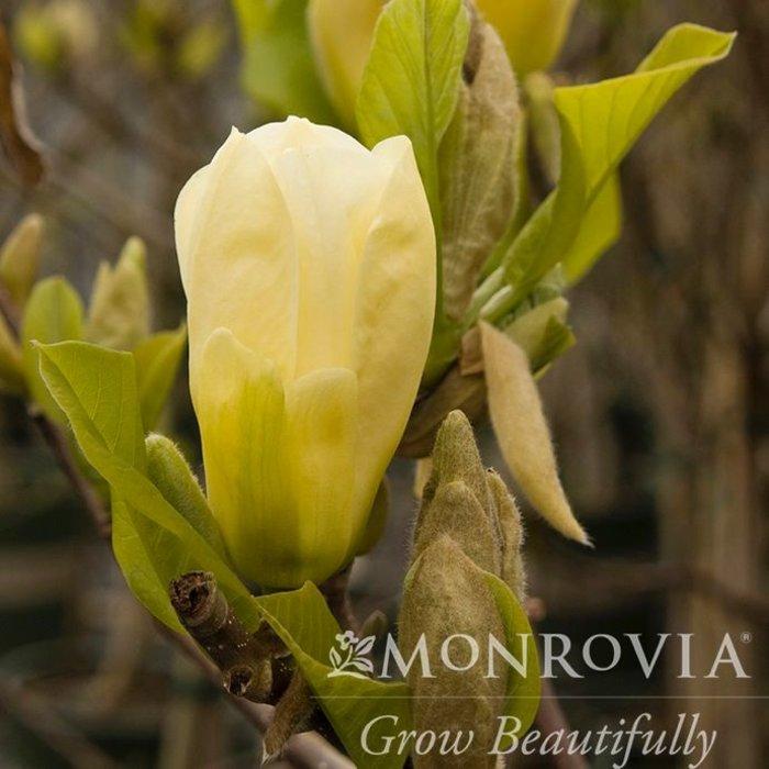 #7 Magnolia acuminata 'Elizabeth'/Deciduous Primrose Yellow