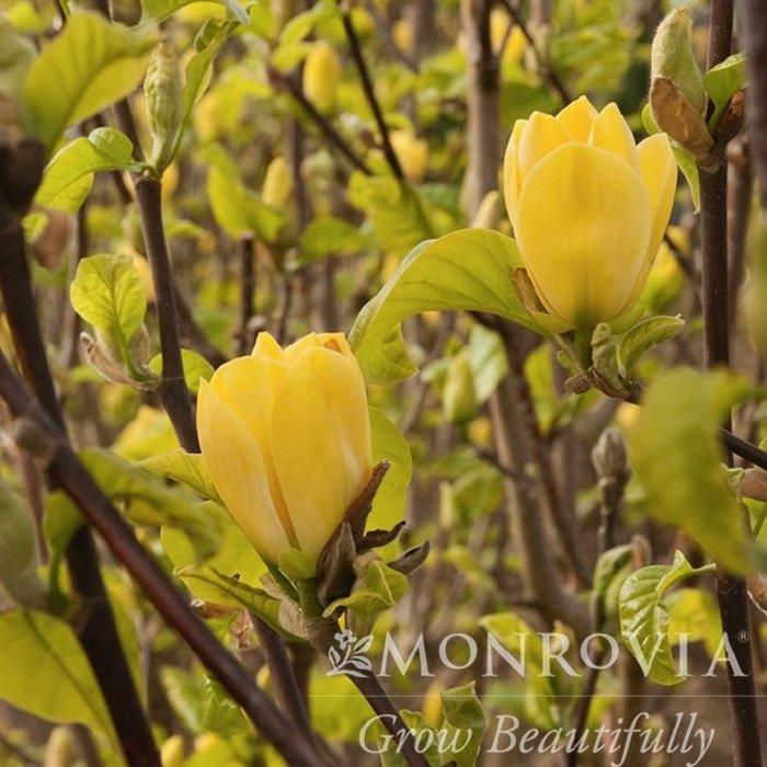 #15 Magnolia x 'Yellow Bird'/ Deciduous