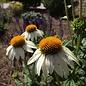 #1 Echinacea Powwow White/Coneflower