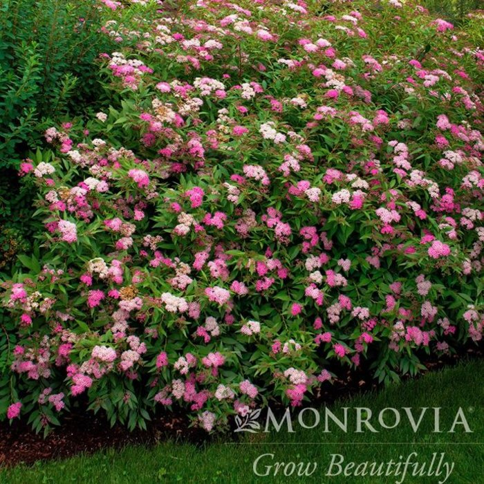#1 Spiraea x Anthony Waterer/Rosy-pink