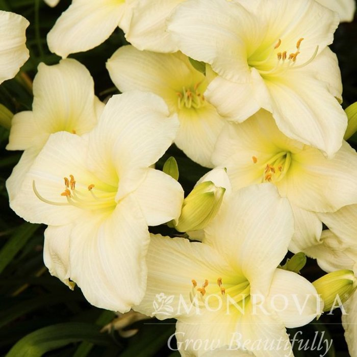#1 Hemerocallis Joan Senior/White Daylily