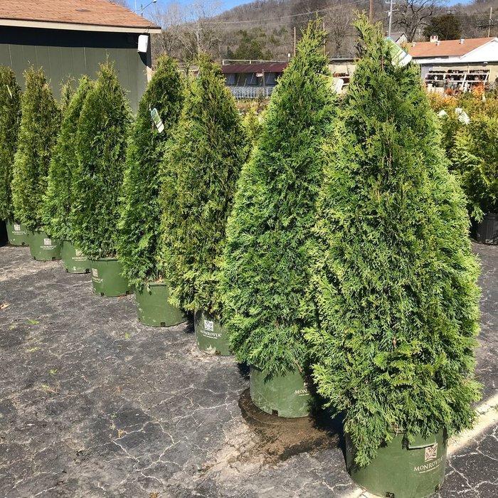 #10 Thuja occ Emerald Green/Arborvitae Columnar