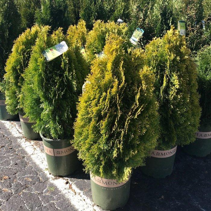 #2 Thuja occ Janed Gold/Highlights Arborvitae Pyramidal