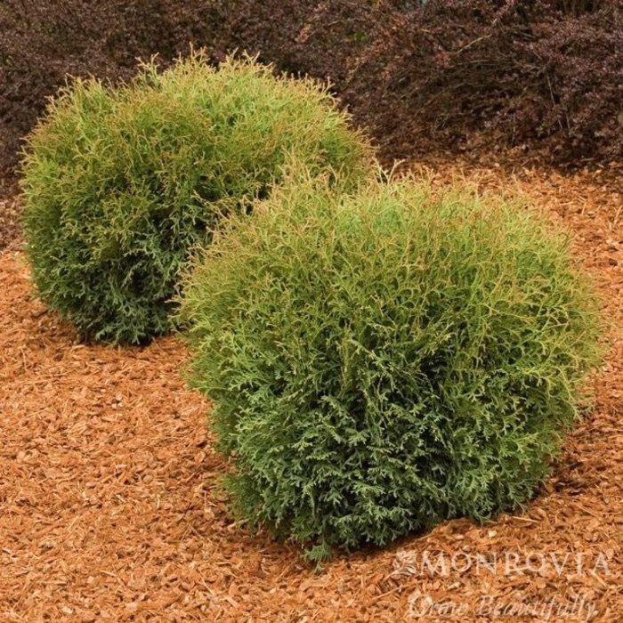 #2 Thuja occ Hetz Midget/Arborvitae Globe