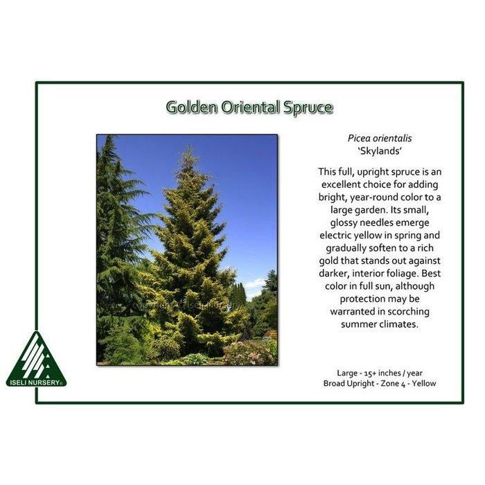 #6 Picea orientalis Skylands/Golden Oriental Spruce