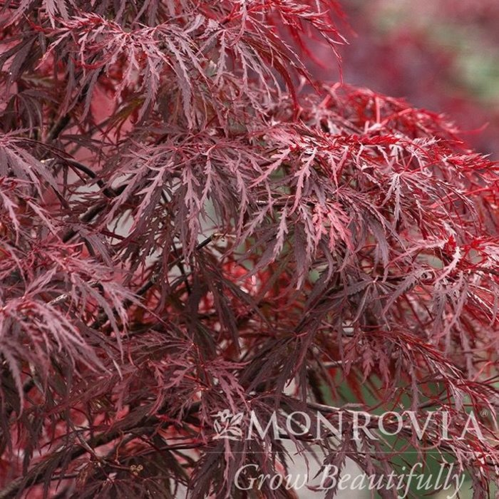 #5 Acer pal var diss Red Dragon/Japanese Maple Red Dwarf Weeping